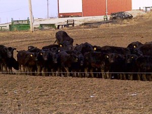 This is the reason Kevin was late to the Think Pink game, this group of cows and claves got out of their lot.